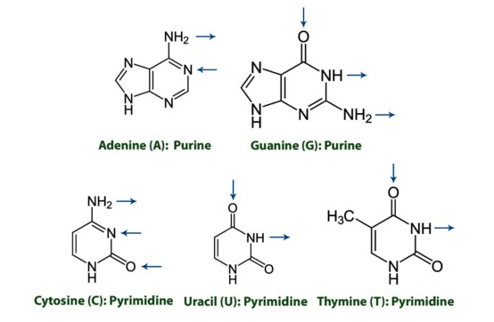 MCAT Biochemistry Macromolecules - Purines and Pyrimidines